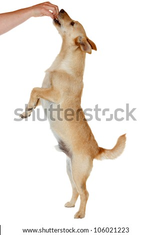 Cute dog standing on two legs to catch his food - isolated on white - stock photo