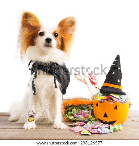 Cute dog wearing a Halloween witch robe, Selective Focus, Isolated on White, Halloween Concept, Continental Toy Spaniel Papillon. - stock photo