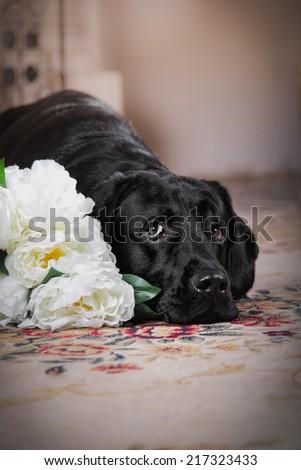 Cute dog with a flower, dog breed labrador retriever black - stock photo