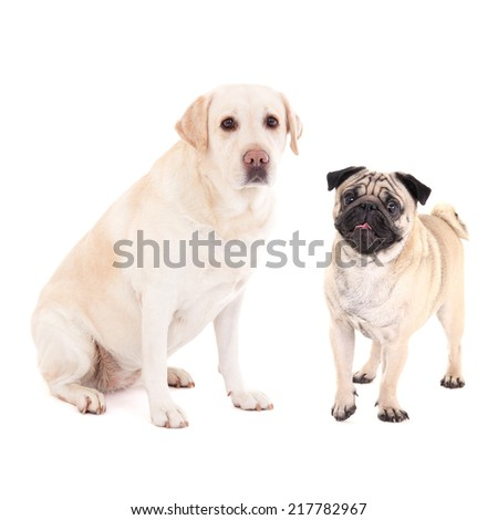 cute dogs - pug dog and golden retriever isolated on white background - stock photo