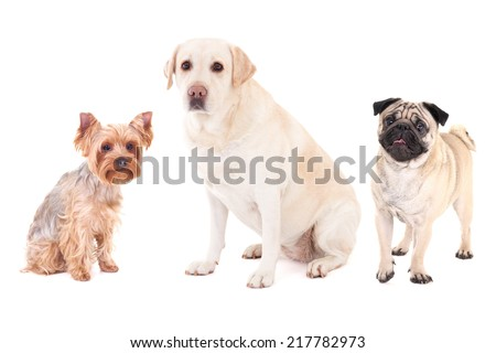 cute dogs - pug dog, yorkshire terrier and golden retriever isolated on white background - stock photo