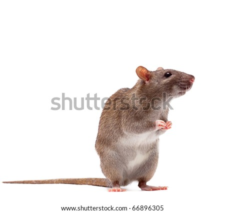 Cute domestic brown rat standing n a tiptoe - stock photo