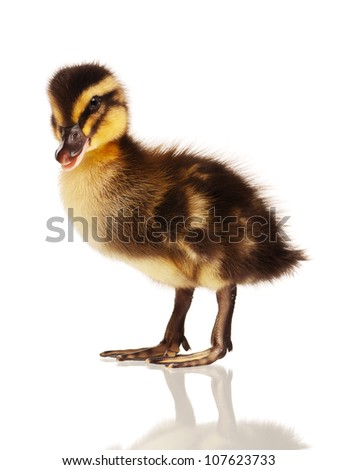Cute domestic duckling isolated on white background - stock photo