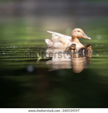 cute duck family on a pond - stock photo