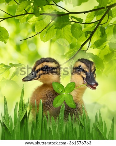 cute ducklings  - stock photo
