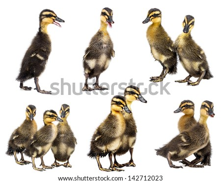 cute ducklings isolated on a white background - collection - stock photo