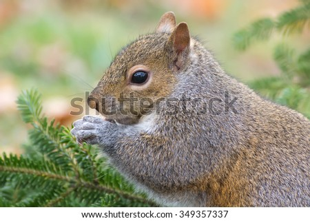 Cute eastern gray squirrel eating a sunflower seed. - stock photo
