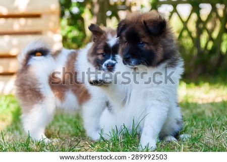 cute Elo puppies in the garden - stock photo