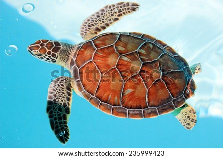 Cute endangered turtle swimming in turquoise water - stock photo