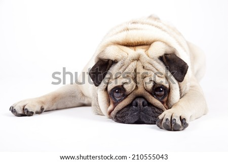 cute english bulldog isolated on white background - stock photo
