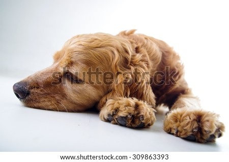 Cute English Cocker Spaniel puppy lying and relaxing in front of a white background. - stock photo