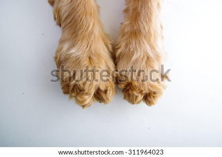 Cute English Cocker Spaniel puppy paws in front of a white background. - stock photo