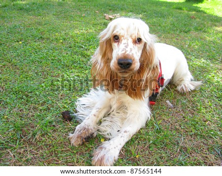 Cute English Cocker spaniel puppy playing at the garden - stock photo