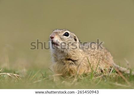 cute European ground squirrel on field (Spermophilus citellus) - stock photo