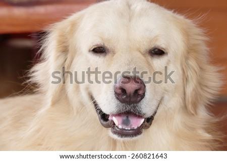 Cute Face Golden Retriever Dog - stock photo