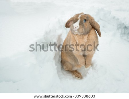 Cute fawn fluffy rabbit with friendly blue eyes standing in snow in winter and looking into camera. Rabbit ears hang down. White stripe on head. - stock photo