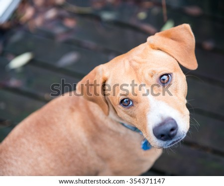 Cute Fawn Terrier Mix Dog Sitting on Wooden Deck - stock photo