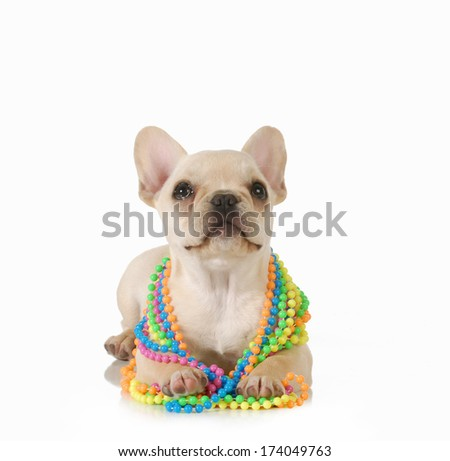 cute female puppy - french bulldog wearing colourful beads looking up isolated on white background - stock photo