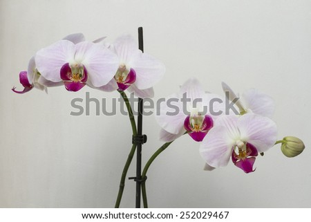 Cute flowers pink orchids grow on the branches of the plant. - stock photo