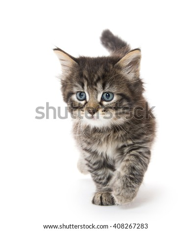 Cute fluffy baby tabby kitten walking with tail in the air isolated on white background - stock photo