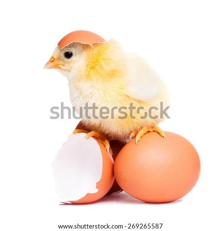 Cute fluffy chick with eggs - stock photo