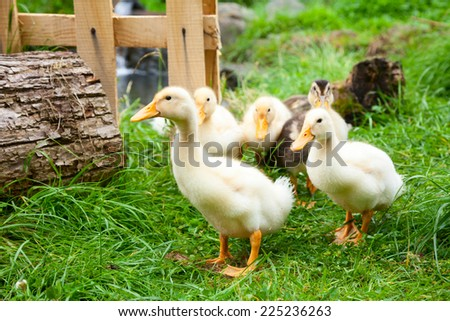 Cute fluffy goslings at a farm - stock photo