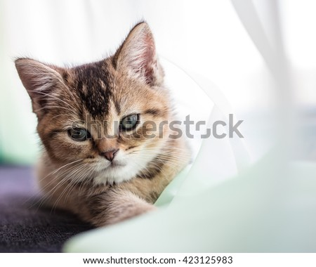 Cute fluffy kitten British golden chinchilla is ticked about transparent tulle stretching one paw forwards - stock photo