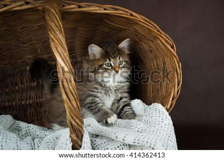 cute fluffy siberian kitten in a basket on brown background. portrait - stock photo