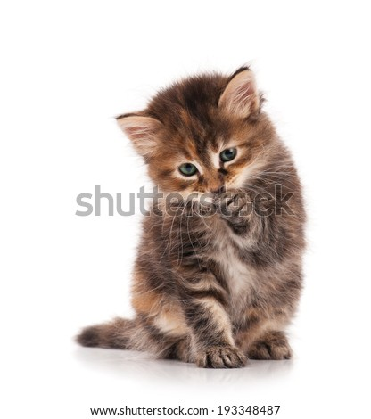 Cute fluffy siberian kitten licks her pad over white background - stock photo