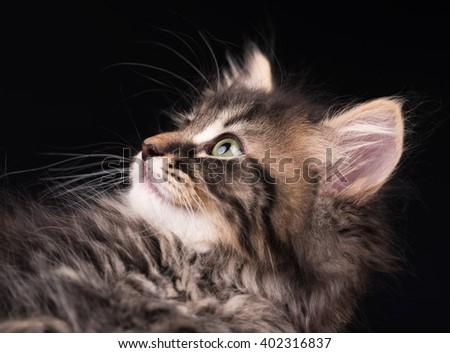 Cute fluffy siberian kitten over black background - stock photo