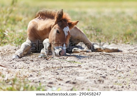 Cute foal lying in the sand - stock photo