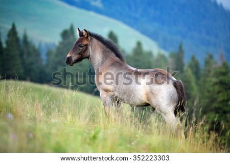 cute foal on mountain pasture in summer - stock photo