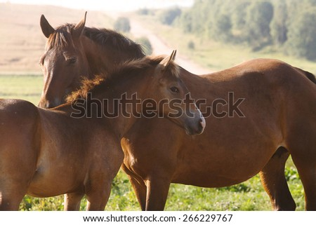 Cute foal with a mare at summer evening.  - stock photo