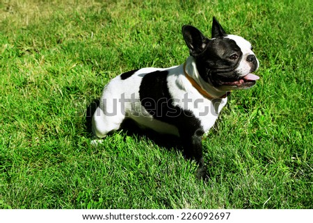 Cute French bulldog on grass - stock photo