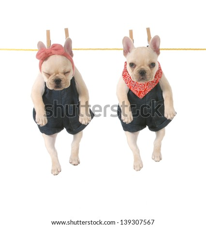 cute french bulldog puppies hanging out on the clothes line isolated on white background - 10 weeks old - stock photo