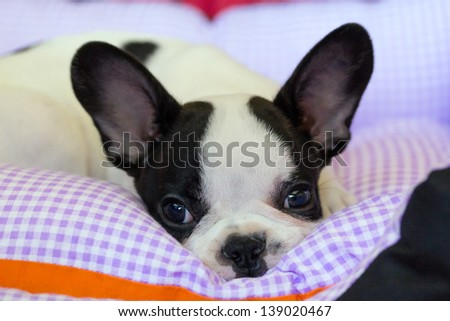 Cute french bulldog puppy - stock photo