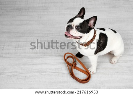 Cute French bulldog with leash in room - stock photo