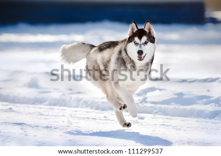 cute funny dog hasky running in winter - stock photo