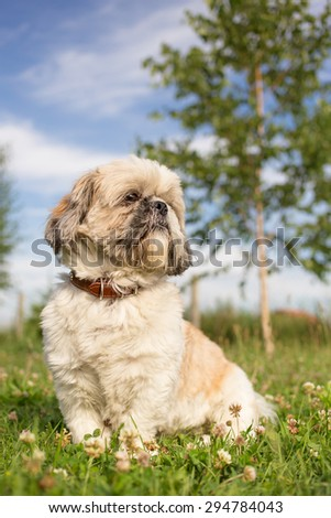 Cute funny shih tzu breed dog outdoors in a park - stock photo