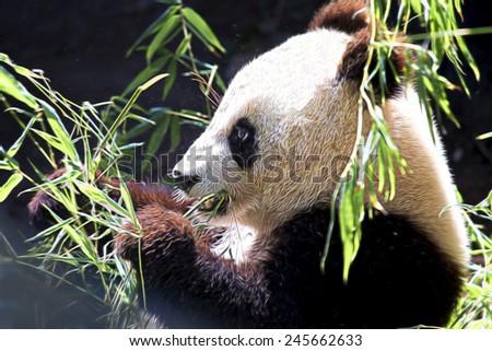 Cute Furry Panda Bear Having a Snack - stock photo