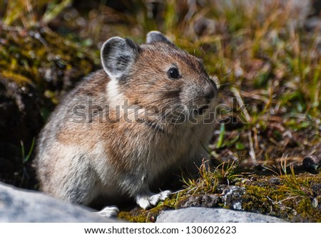 Cute furry Pika Photographed wild in the Canadian Rockies - stock photo