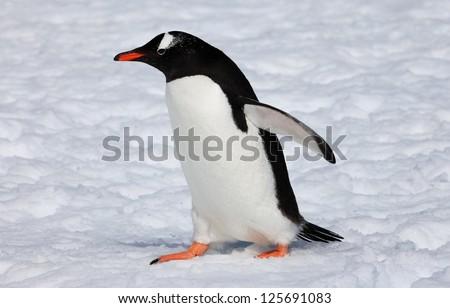 Cute Gentoo penguin walking on snow in Antarctica - stock photo