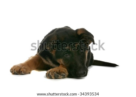 cute German Shepherd puppy with chin on paw - stock photo