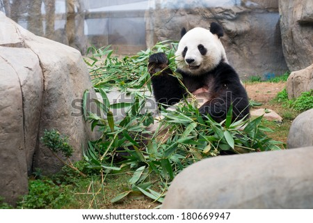 Cute Giant Panda eating bamboo - stock photo