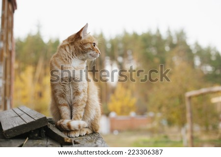 cute ginger cat walking outdoor in the farm - stock photo