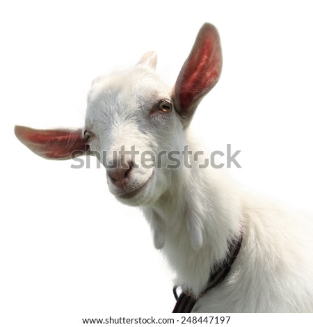 Cute goat kid isolated on a white - stock photo