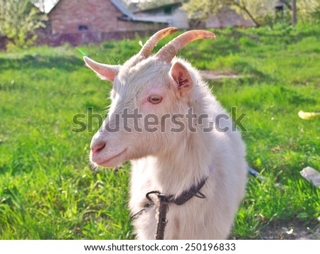 Cute goat on the grass in the village - stock photo