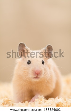 Cute Golden Hamster on wood chips - stock photo