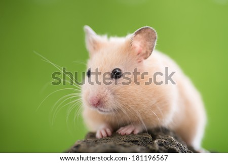 Cute Golden Hamster (Syrian Hamster) on a rock. - stock photo