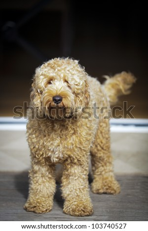 Cute golden labradoodle sitting on porch. - stock photo